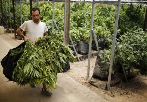 A worker carries sacks of newly harvested cannabis plants at a plantation near the northern town of Nazareth May 28, 2013. Marijuana is an illegal drug in Israel. Medicinal use of it was first permitted in 1993, according to the health ministry. Today cannabis is used in Israel to treat 11,000 people suffering from illnesses such as cancer, Parkinson's, multiple sclerosis, Crohn's disease and post traumatic stress disorder, according to Israel's health ministry. REUTERS/Amir Cohen (ISRAEL - Tags: HEALTH) - RTX10462