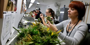 "In this Dec. 27, 2013 photo, employee Lara Herzog trims away leaves from pot plants, harvesting the plant's buds to be packaged and sold at Medicine Man marijuana dispensary, which is to open as a recreational retail outlet at the start of 2014, in Denver. Colorado is making final preparations for marijuana sales to begin Jan. 1, a day some are calling ""Green Wednesday."" (AP Photo/Brennan Linsley)"